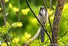 Jaybird in a Tree